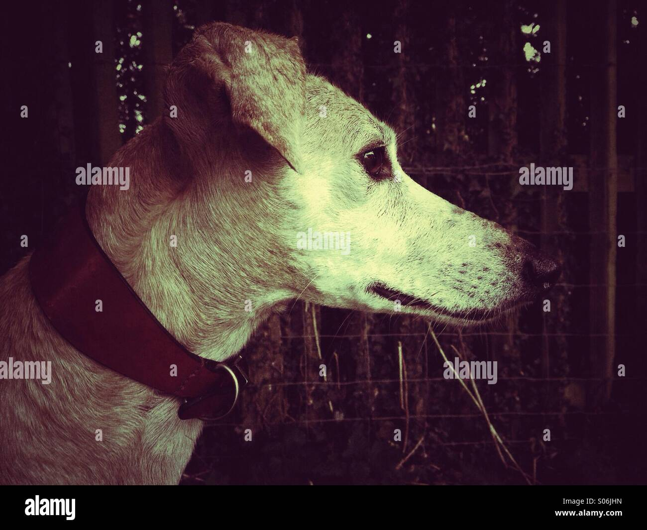 Side profile of lurcher in sepia - Stock Image