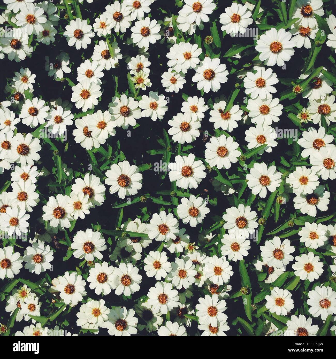 Daisies - Stock Image