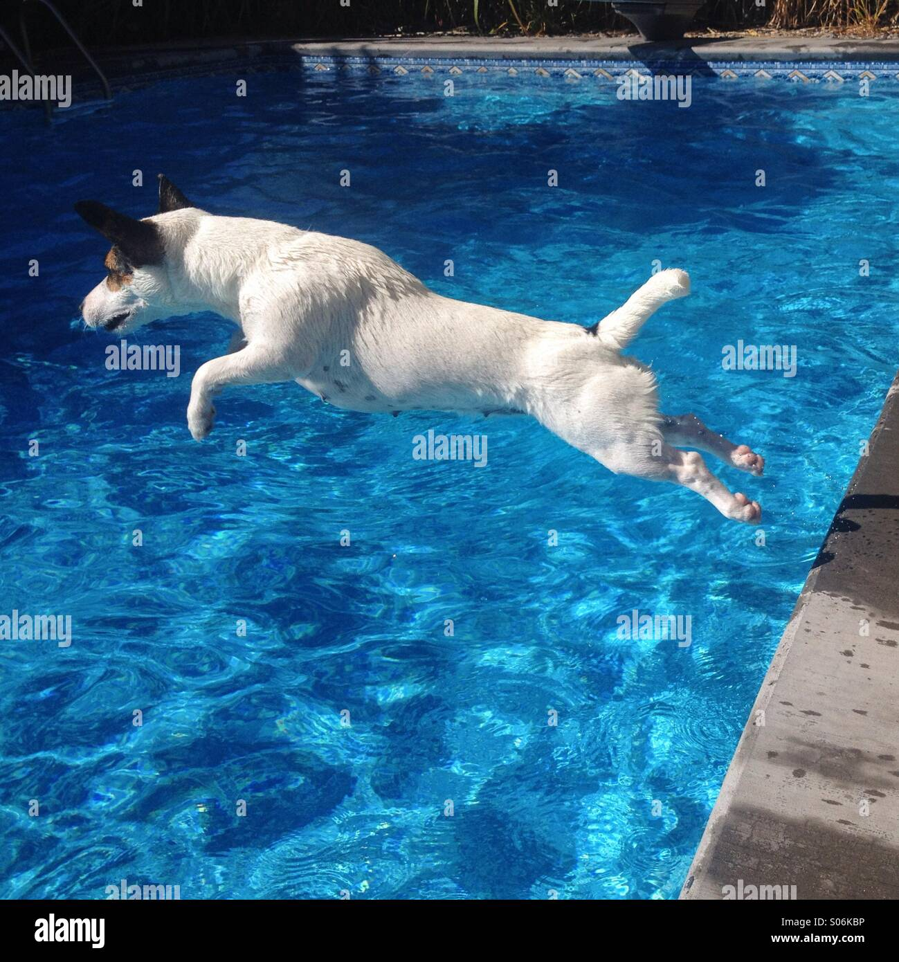 One-year-old female Jack Russell Terrier jumping into backyard pool, on a sunny late summer day. Square crop. - Stock Image