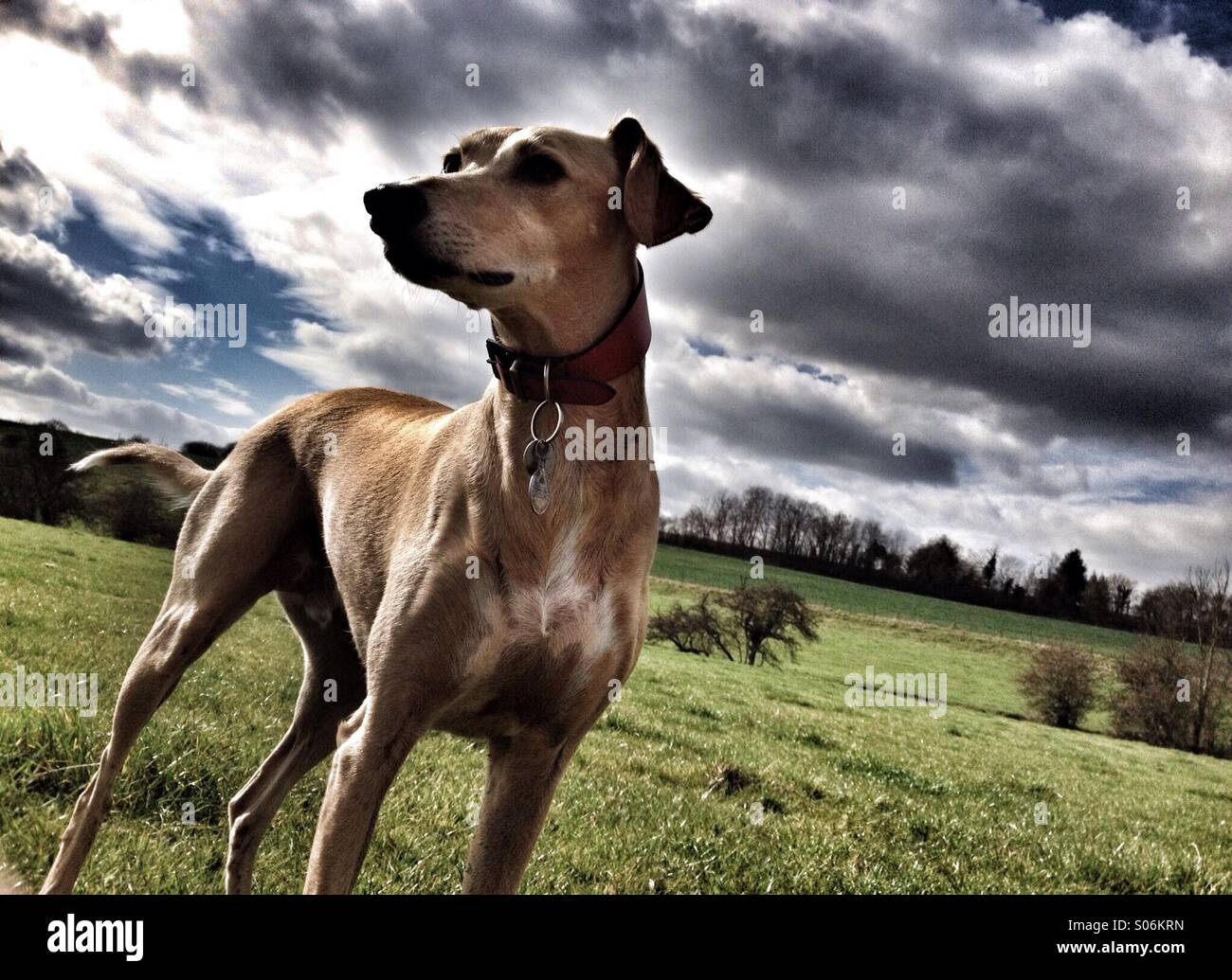 Lurcher dog on alert - Stock Image
