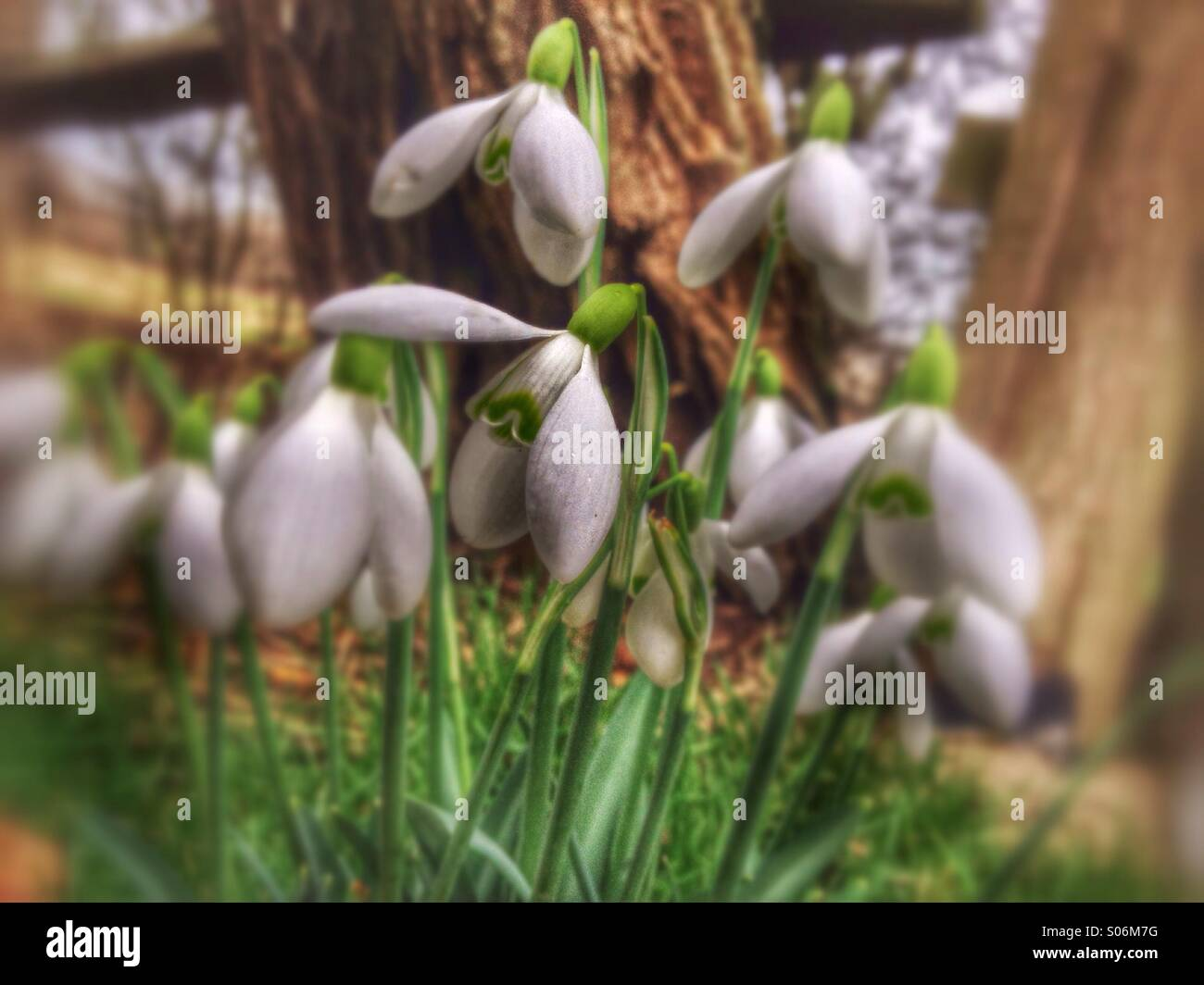 A drift of Snowdrops - Stock Image
