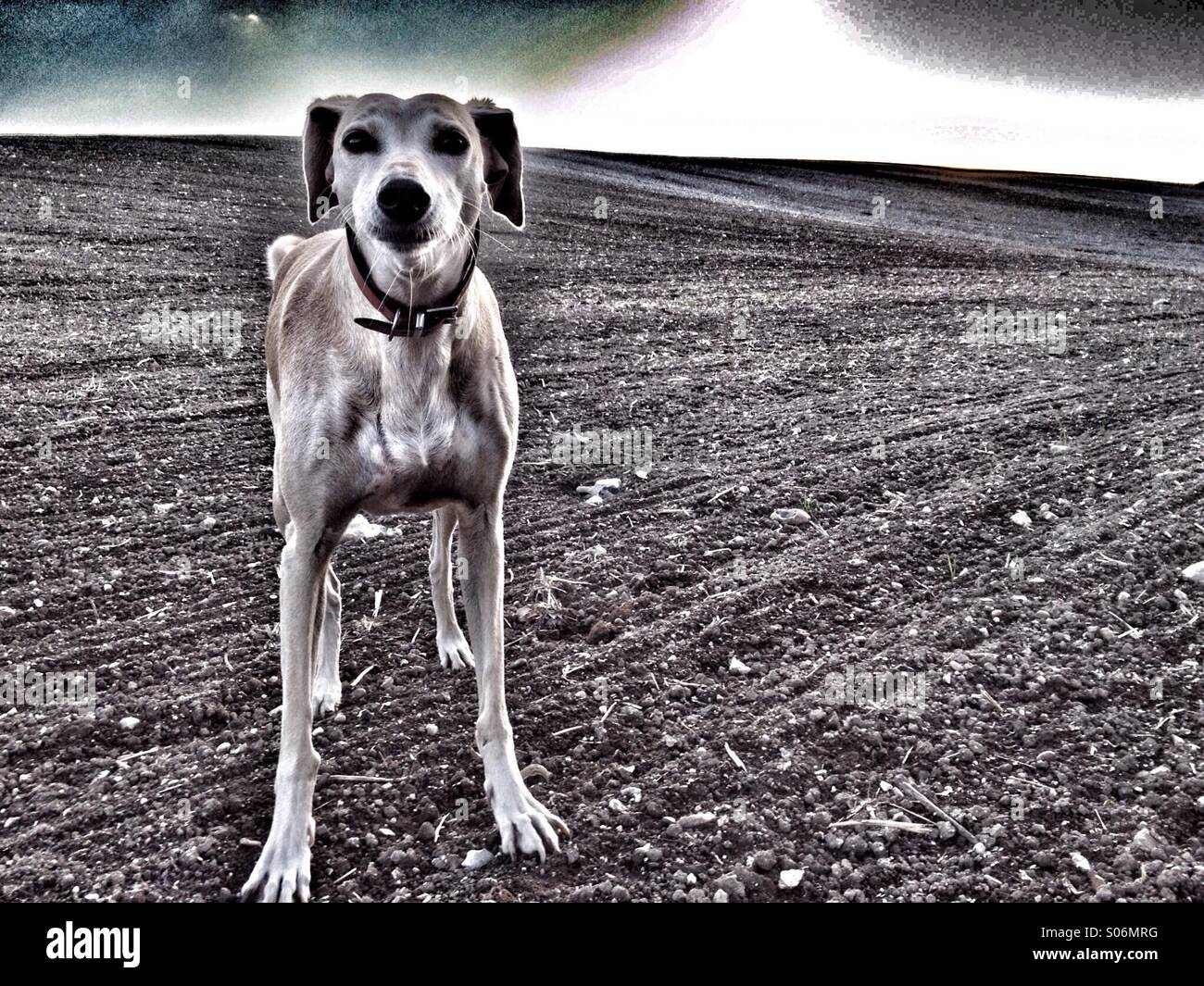 Dog in field staring into camera - Stock Image