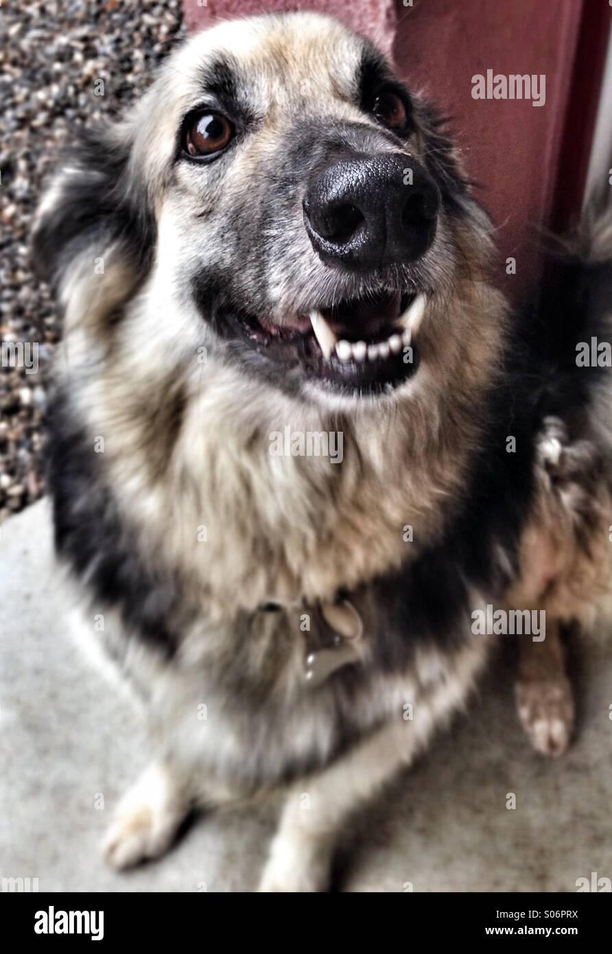 Smiling husky dog with sharp teeth - Stock Image