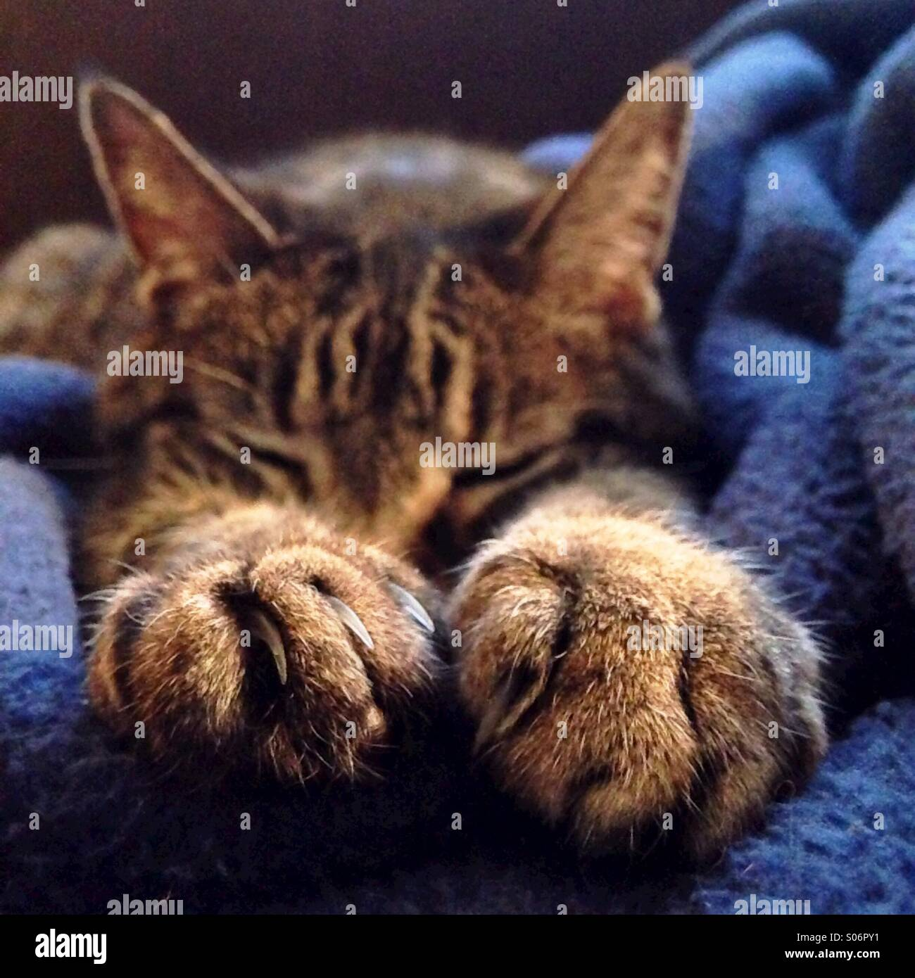 Tabby cat, focus on paws - Stock Image