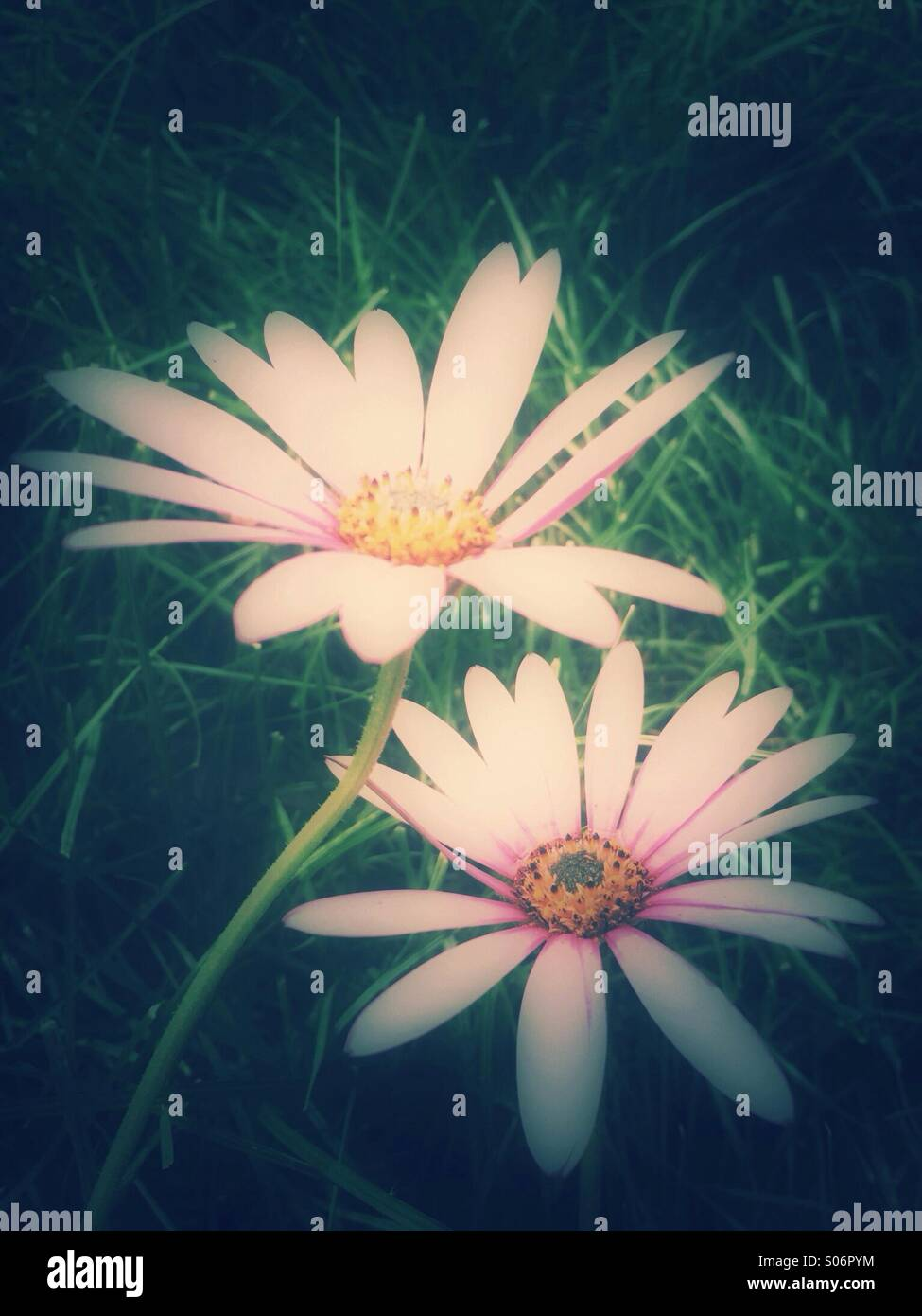 Pink daisies - Stock Image