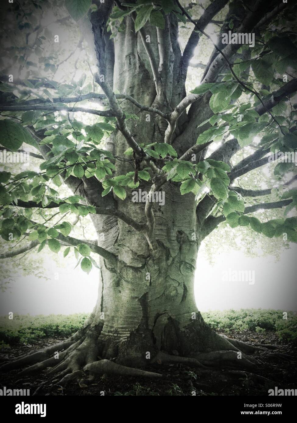 Ancient beech tree - Stock Image