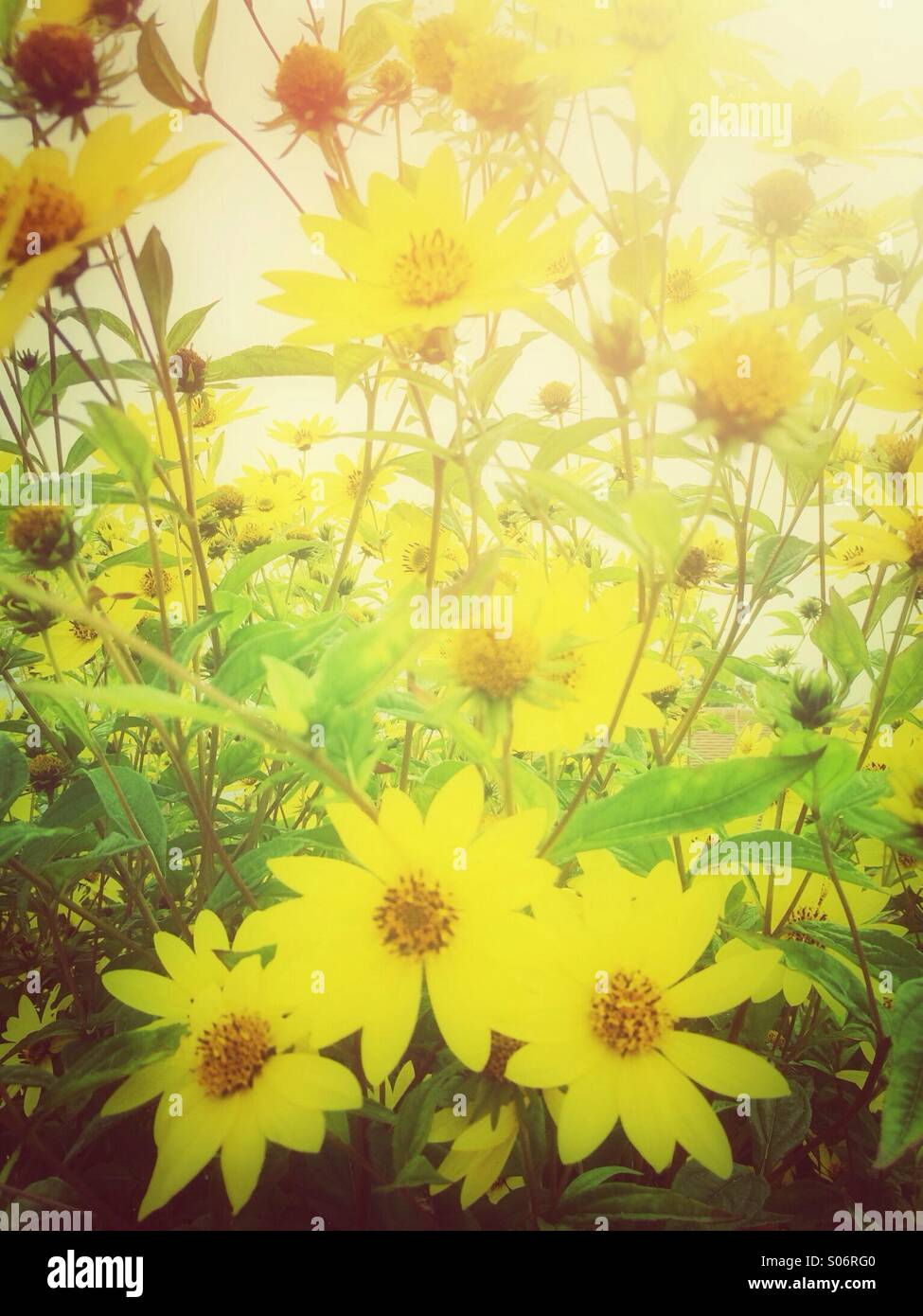 Yellow daisy flowers - Stock Image