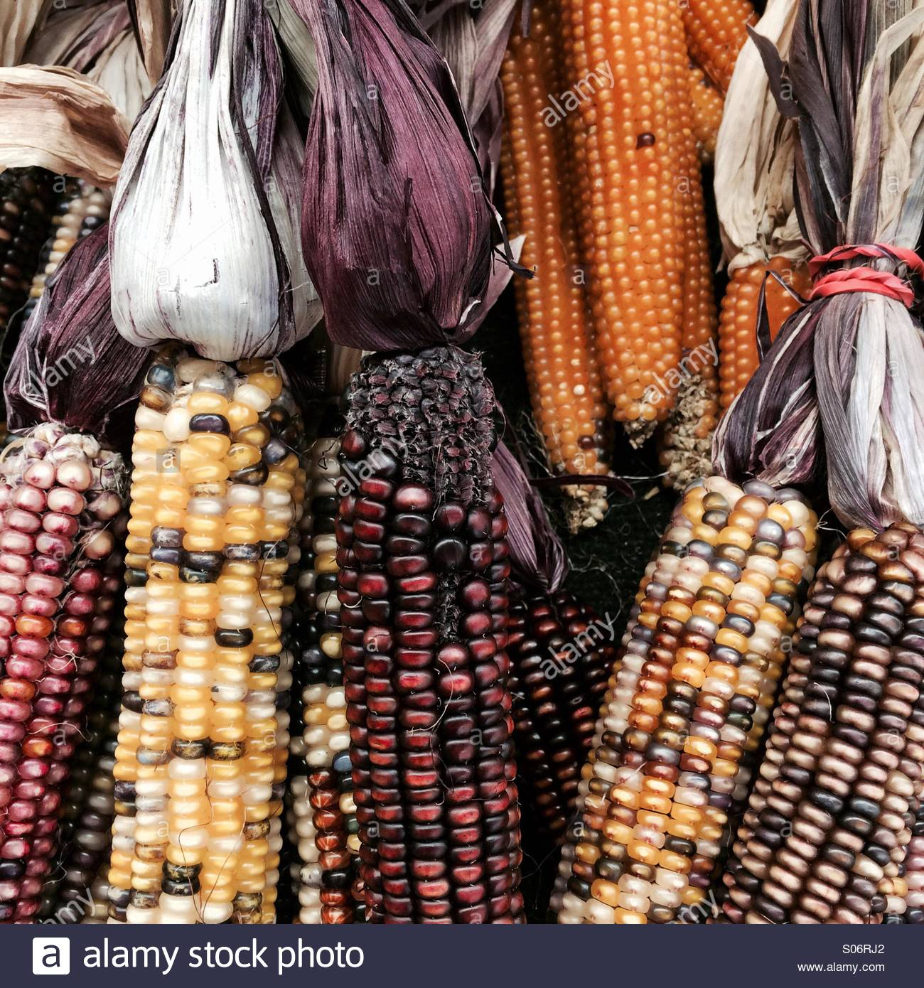 Bundles of decorative ears of corn at a roadside stand - Stock Image