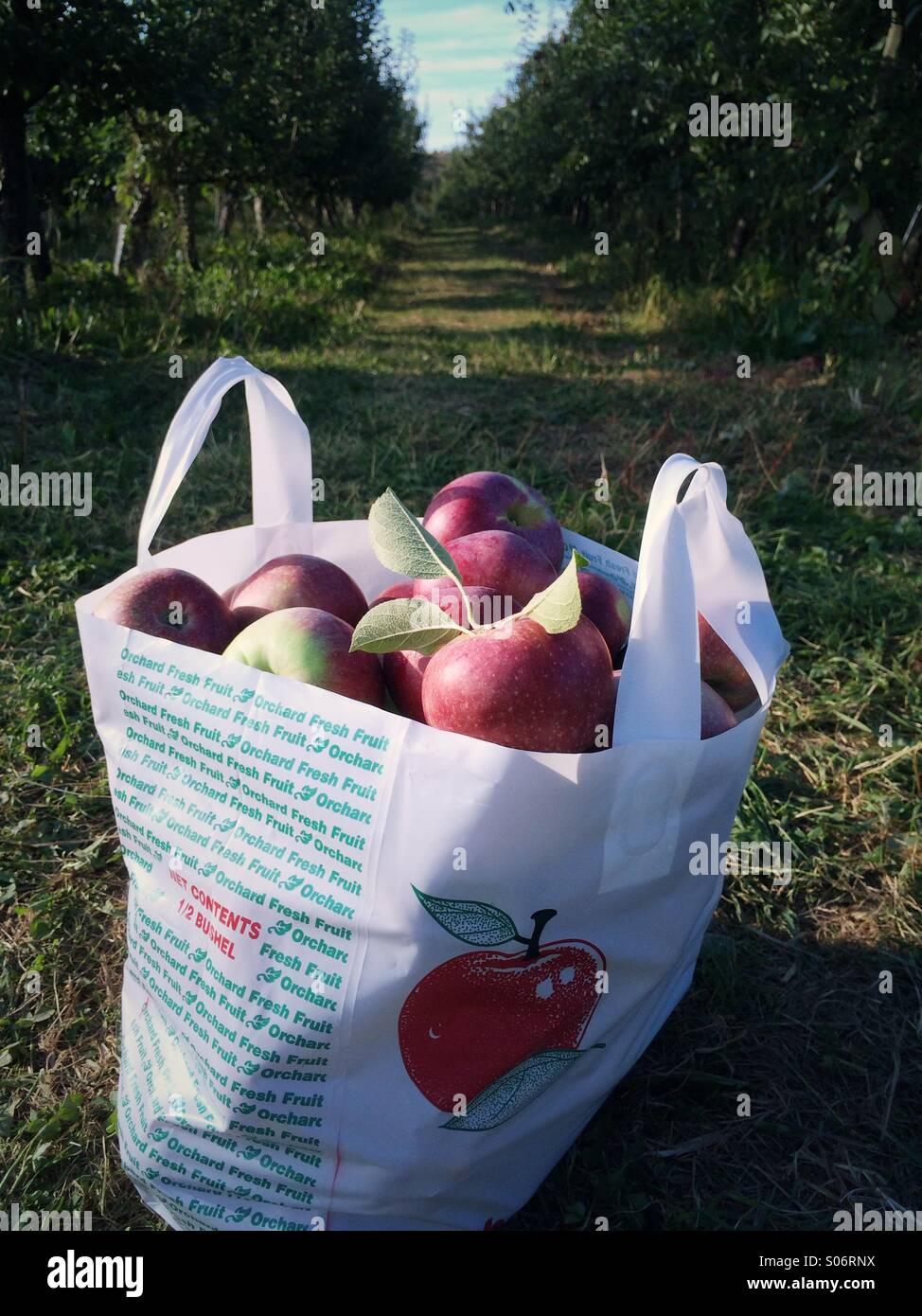 A bag of apples at an apple picking orchard in the Catskills