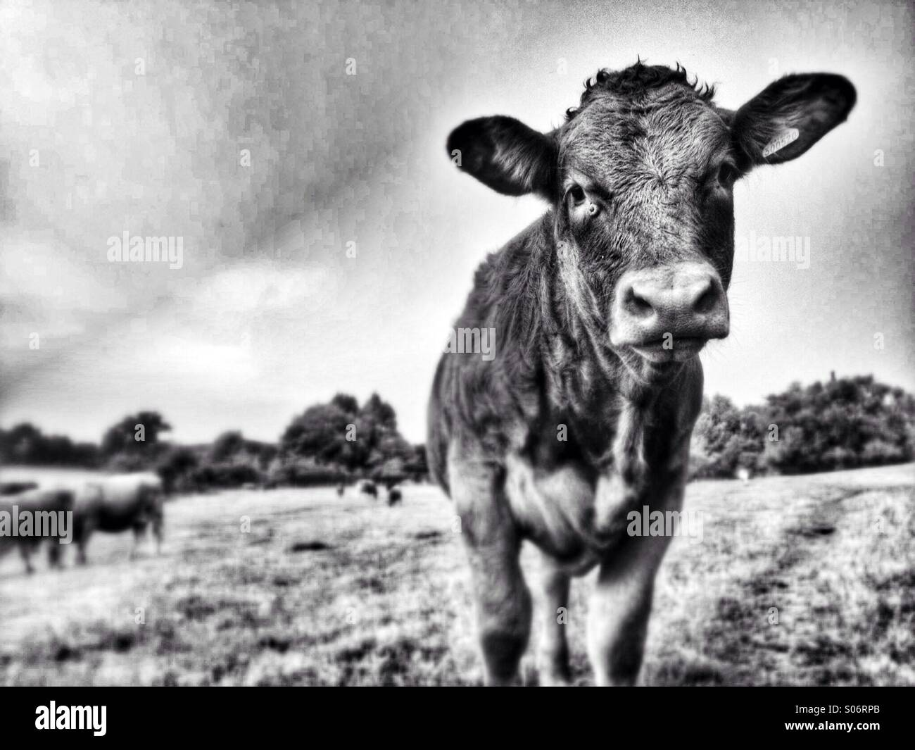 Black and white picture of a young calf staring into the camera - Stock Image