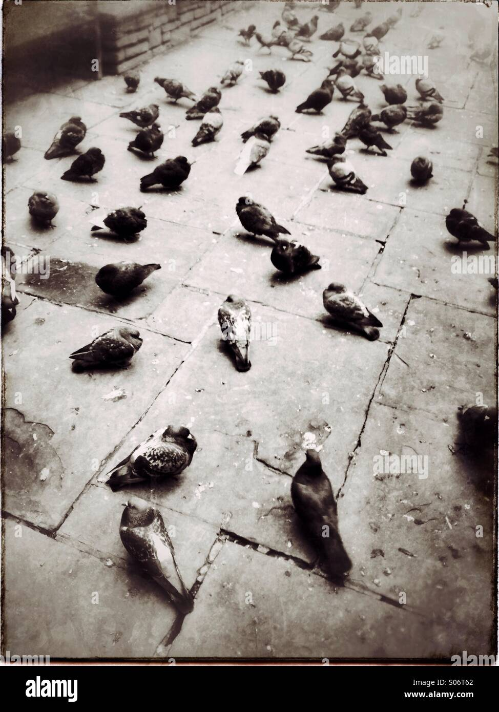 Pigeons, London , England - Stock Image