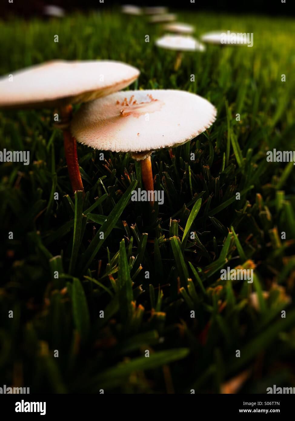 Mushrooms on lawn - Stock Image