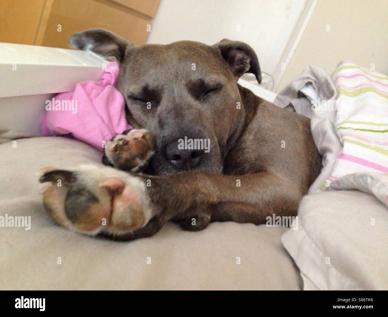 Dog snoozing in bed - Stock Image