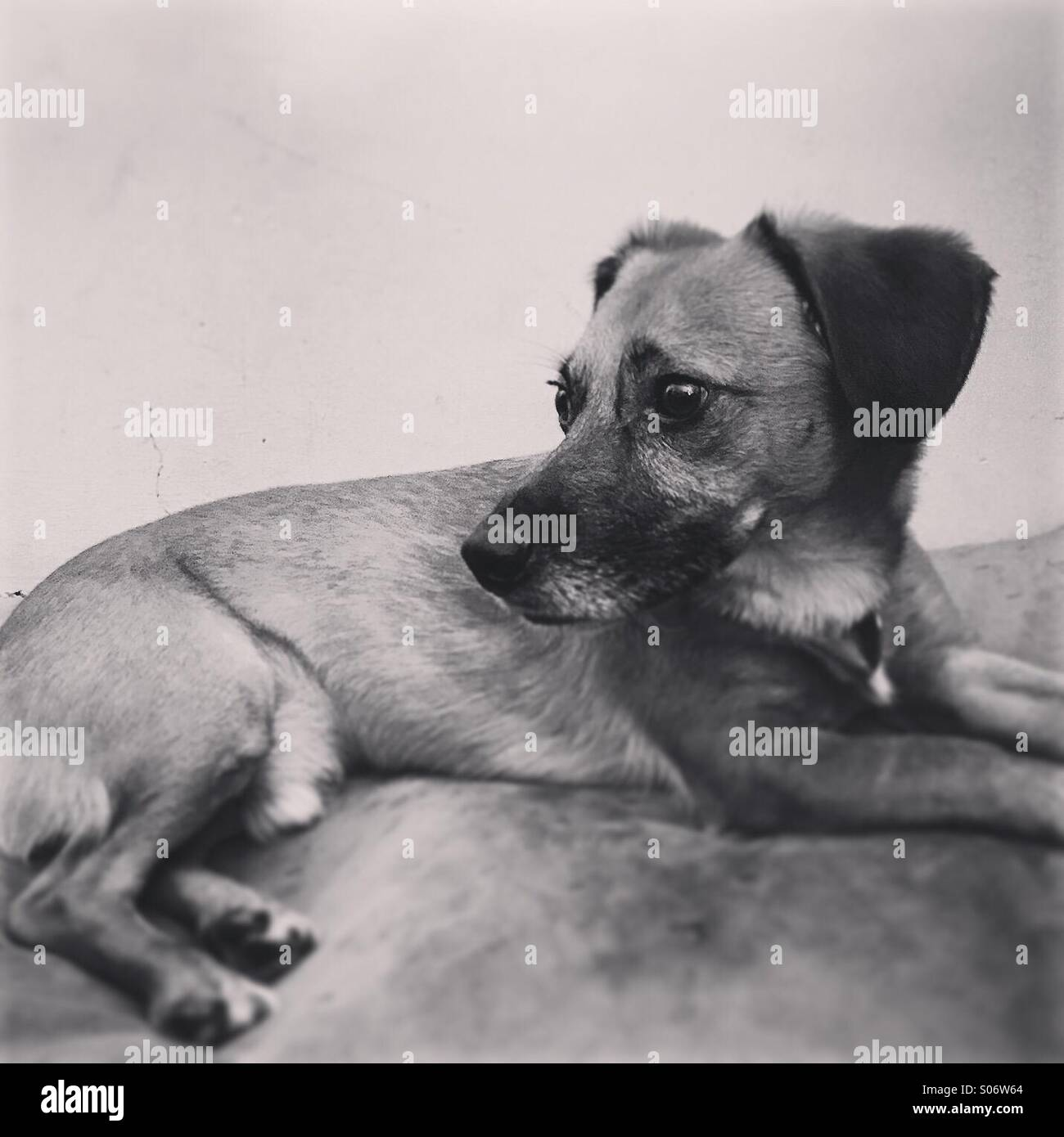 black and white portrait of a dog - Stock Image
