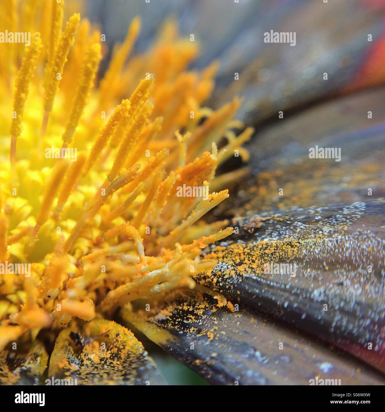 Macro view of a flower filled with pollen - Stock Image