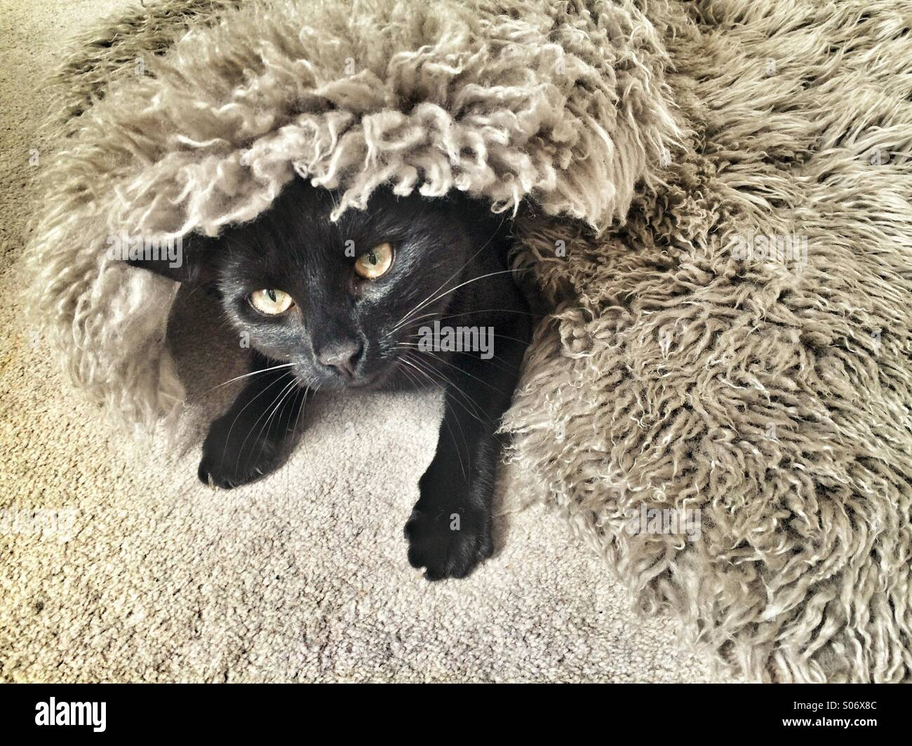 A black cat hiding under a rug. - Stock Image