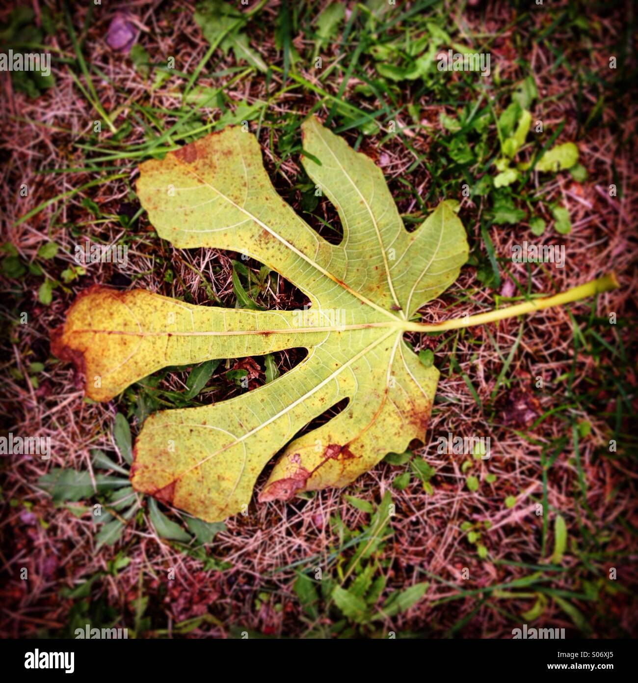 Fallen leaf from a fig tree in autumn - Stock Image
