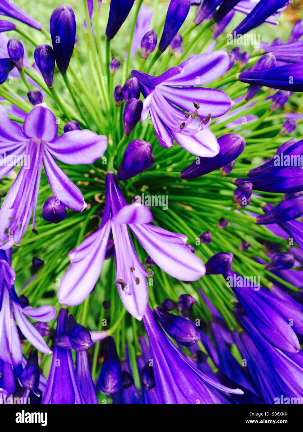 Close-up of Flowers on stems from globe flower Agapanthus - Stock Image