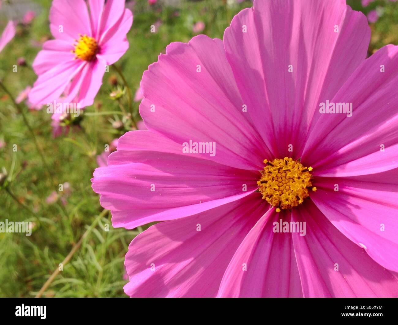 Pink Portraits - Stock Image