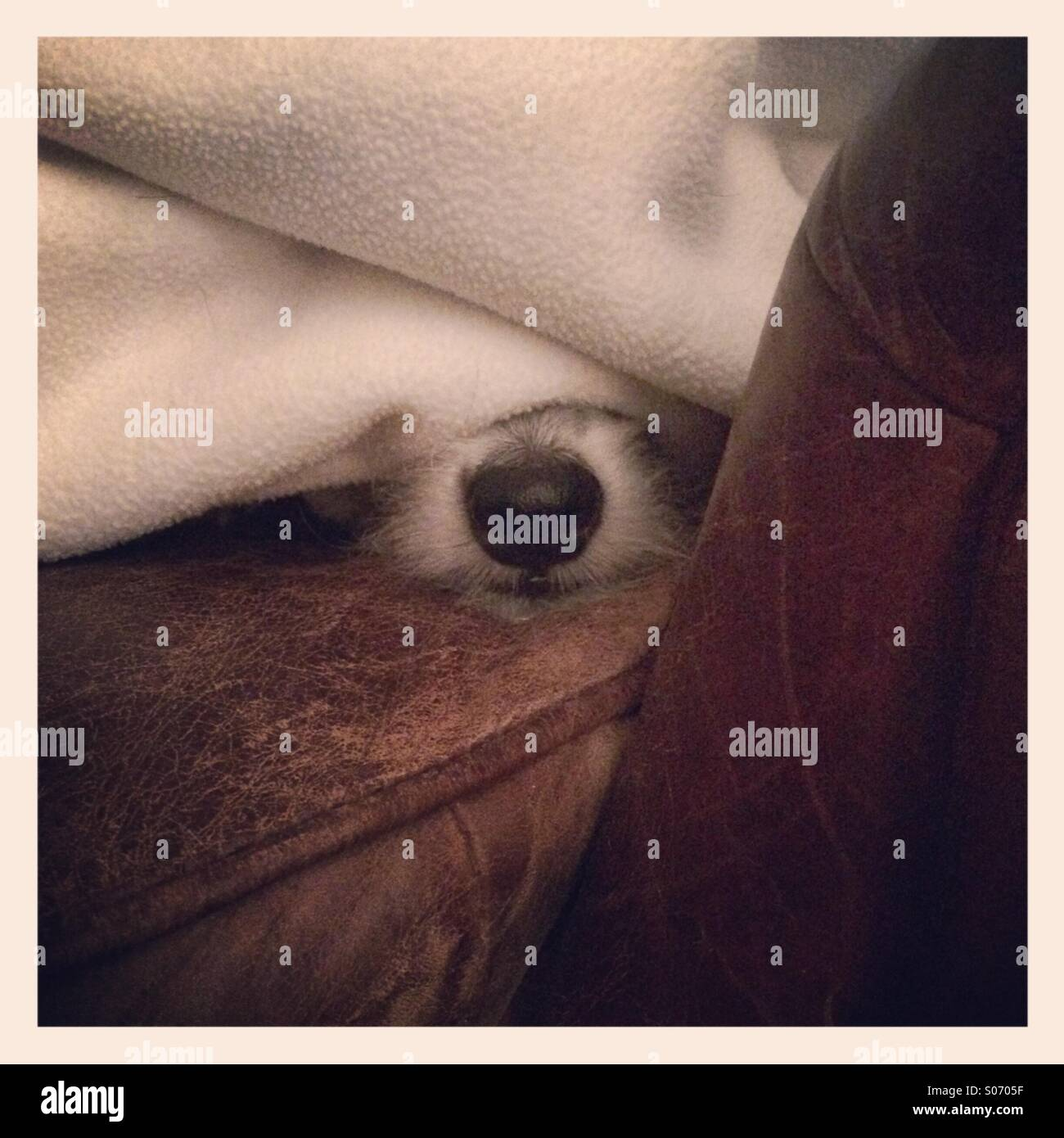 White dog under blanket with only nose showing - Stock Image