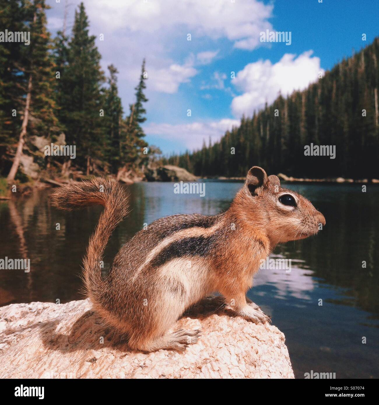 Mountain Lake Chipmunk - Stock Image