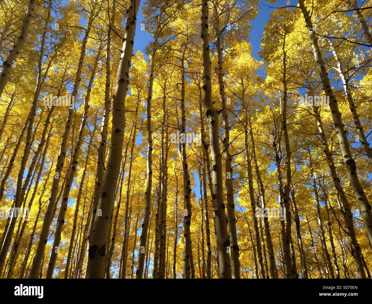 A stand of aspens displays golden leaves in the Wasatch mountains near Salt Lake City, Utah. - Stock Image