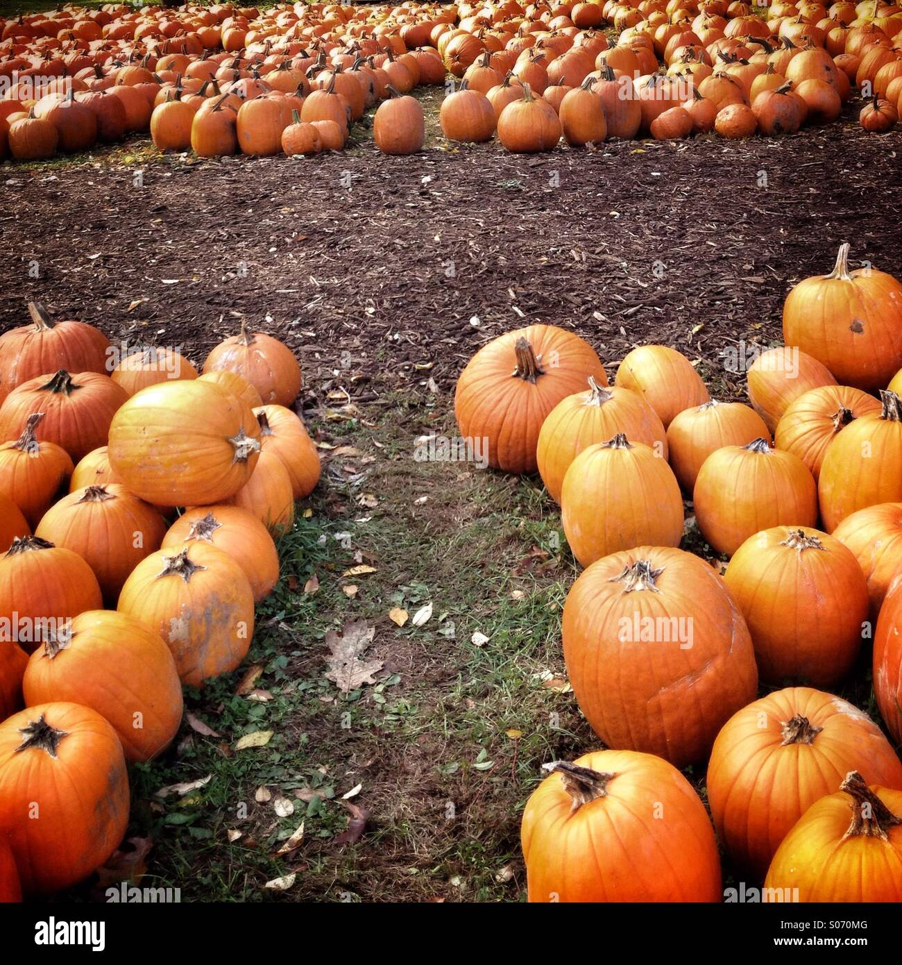 Pumpkins ready for sale - Stock Image