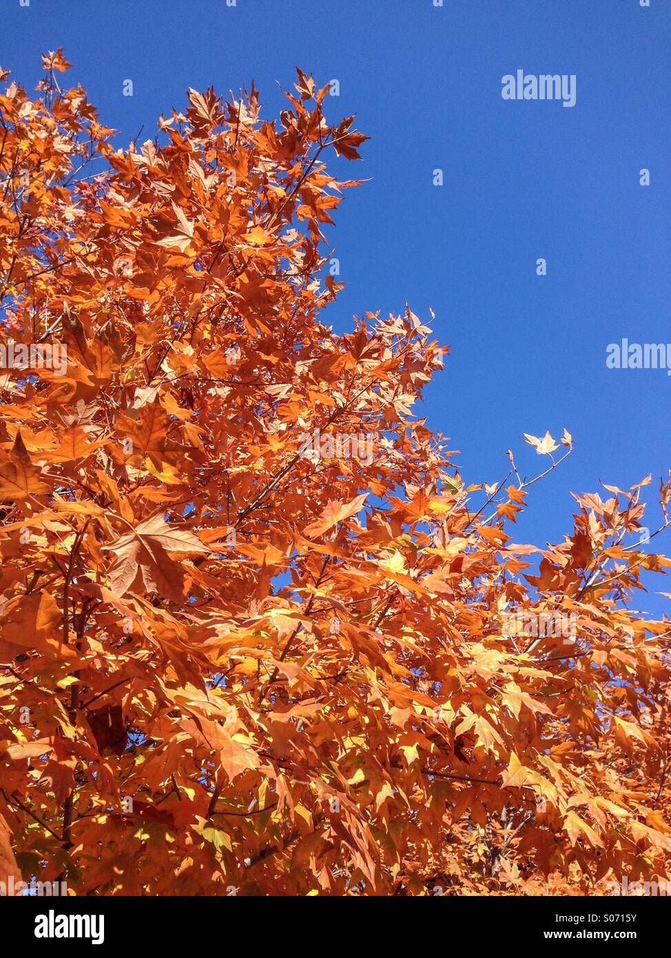 Leafs changing color in fall. - Stock Image