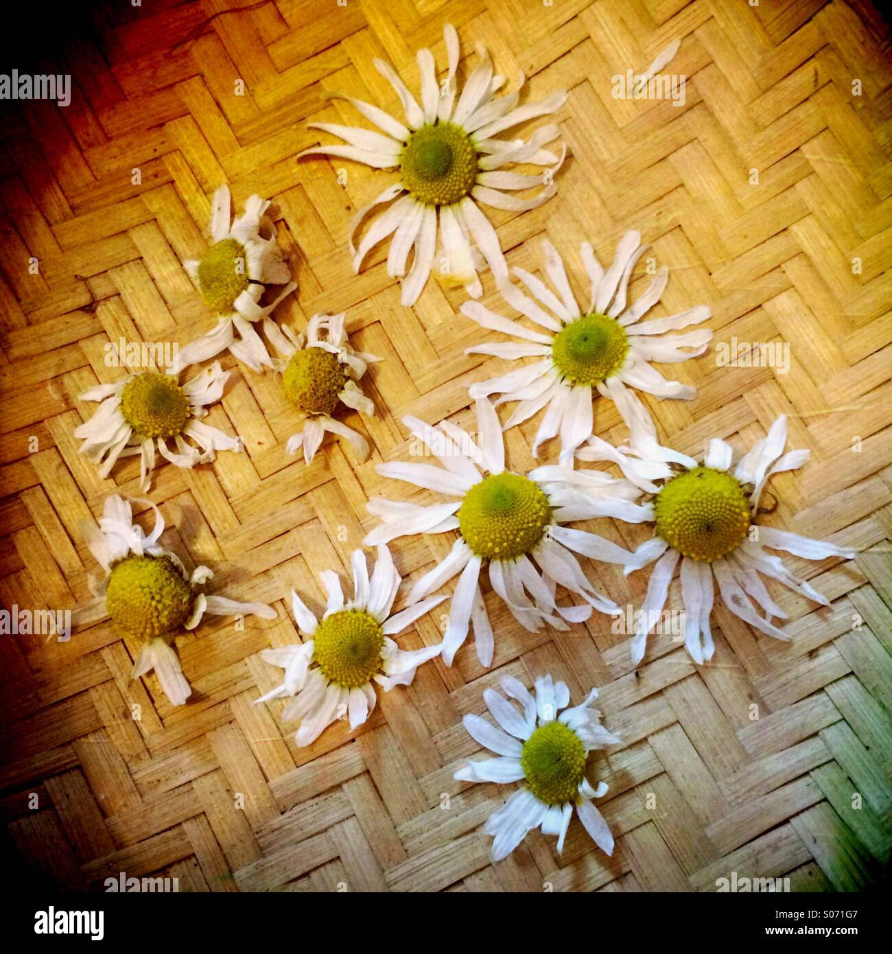 A woven bowl with camomile flowers - Stock Image