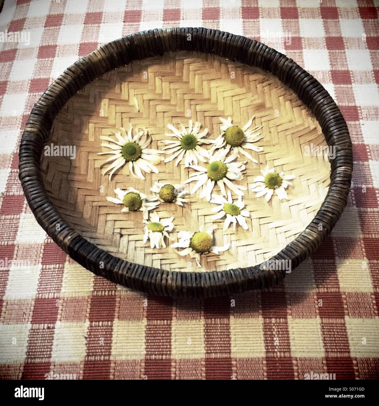 A woven bowl of camomile flowers on a checked tablecloth - Stock Image