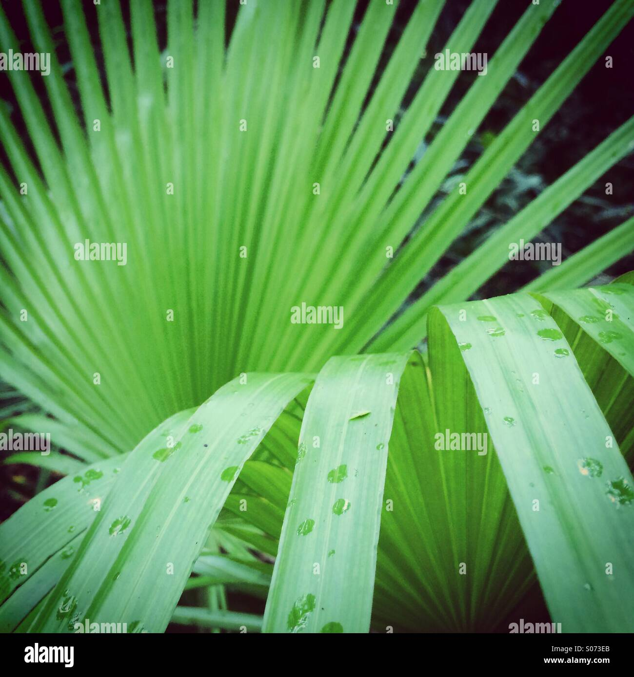 Fan palm detail , Belize - Stock Image
