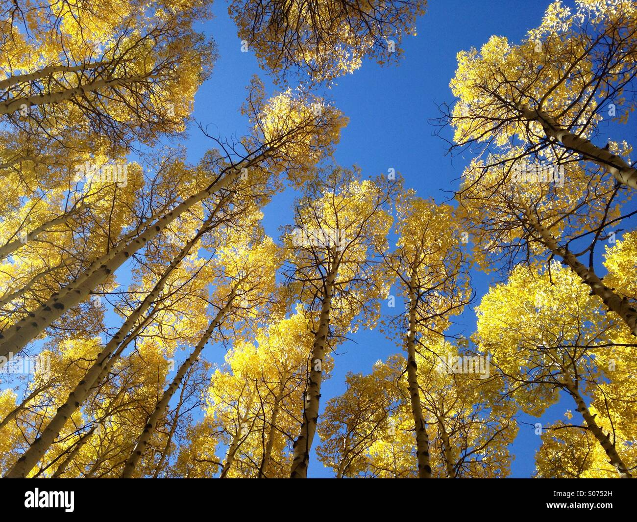A view from an Aspen Grove floor shows the golden tops of Aspen trees set against the blue sky in Utah. - Stock Image