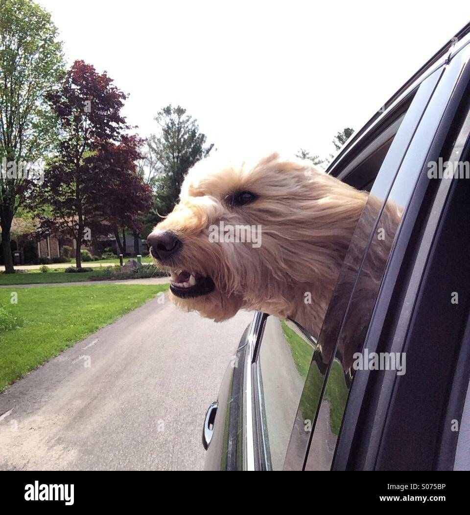 Dog with it's head out the window - Stock Image