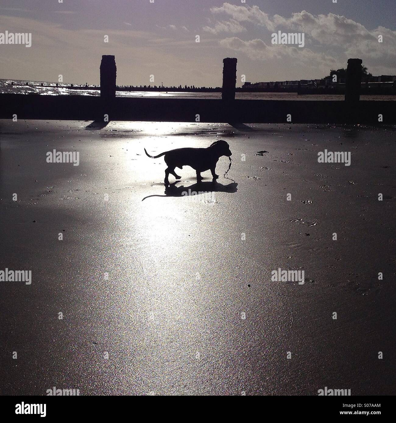 Dachshund silhouette - Stock Image