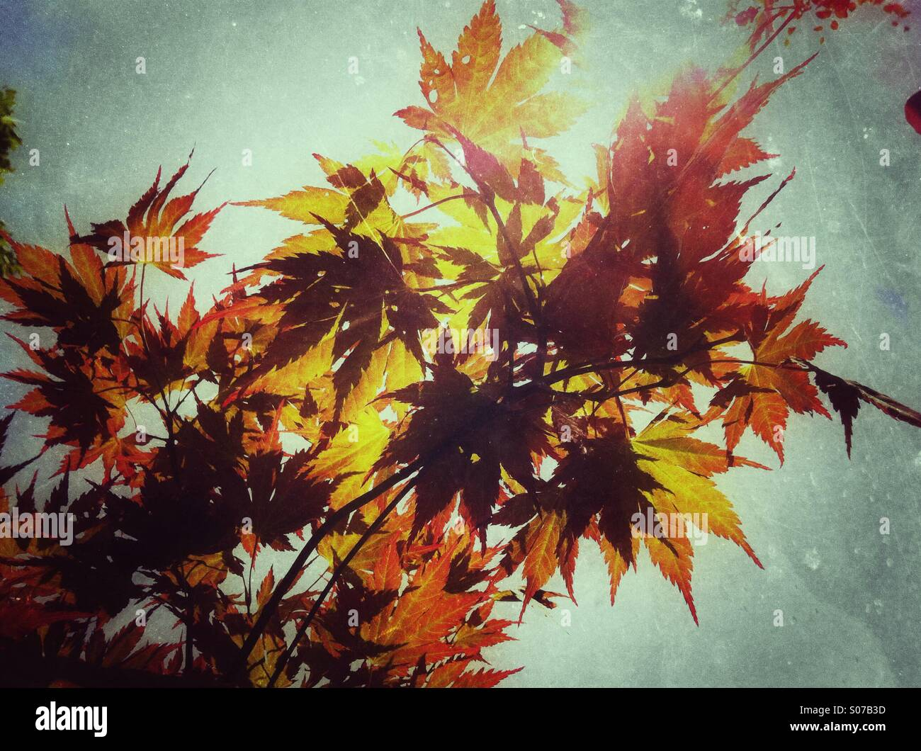 Autumn maple leaves - Stock Image