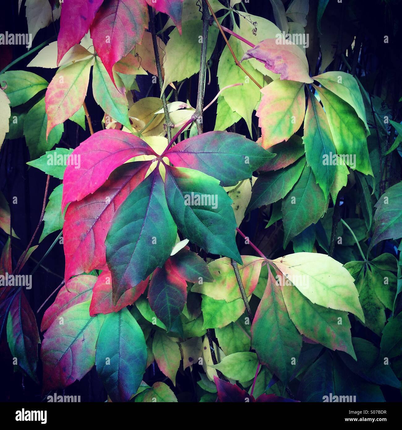 Virginia Creeper, leaves changing color on autumn, Seattle Stock ...