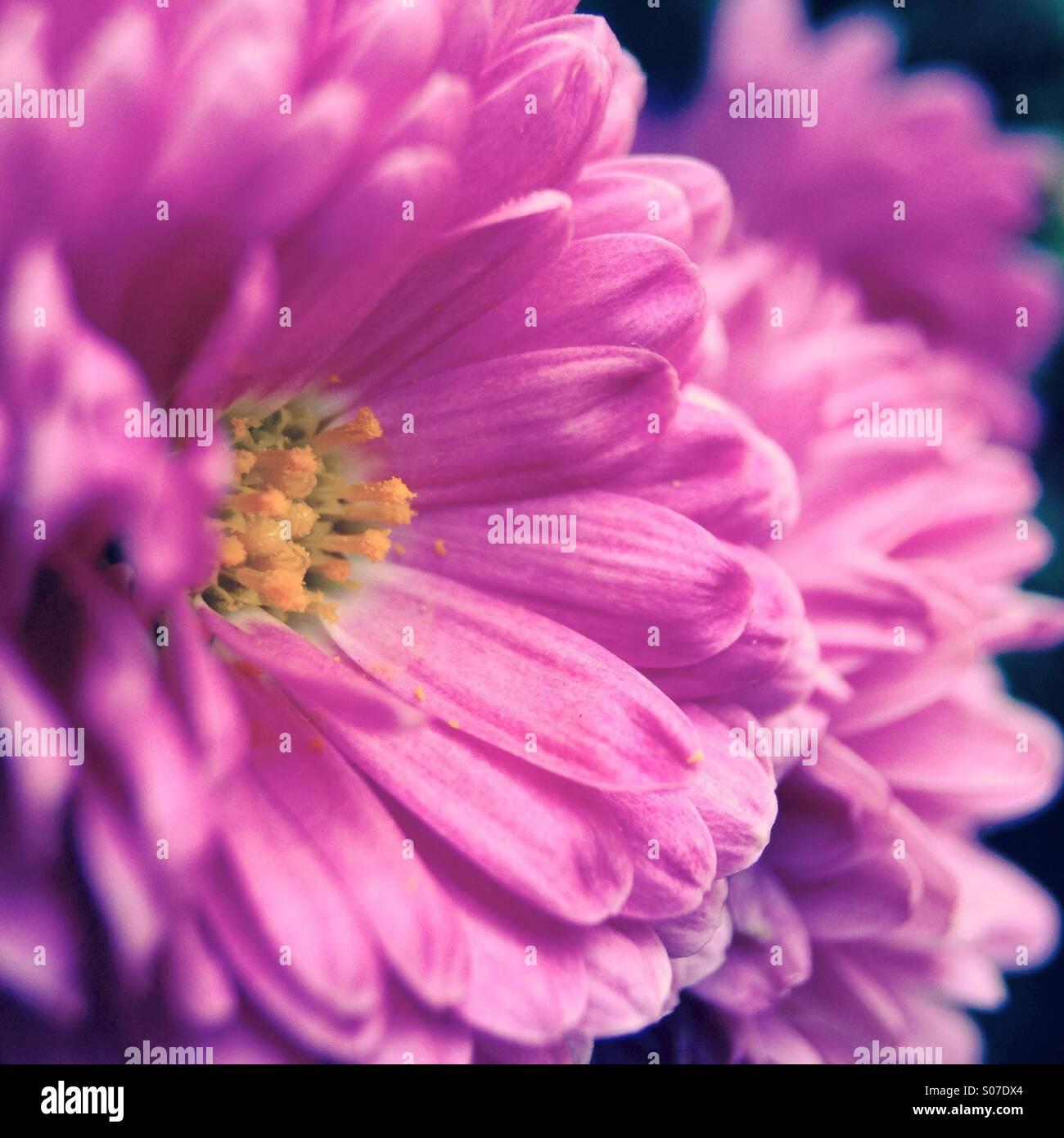 Chrysanthemums close up - Stock Image