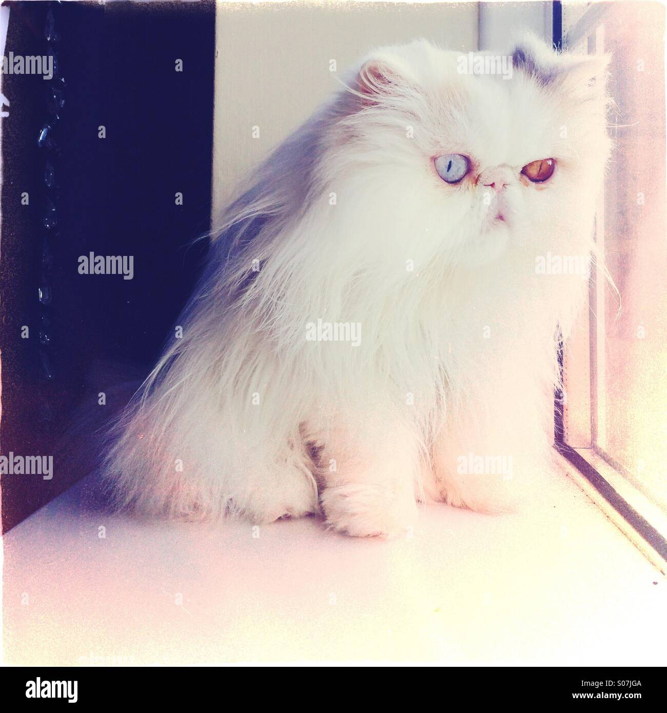 Cute white Persian cat with odd colour eyes sitting in the window - Stock Image