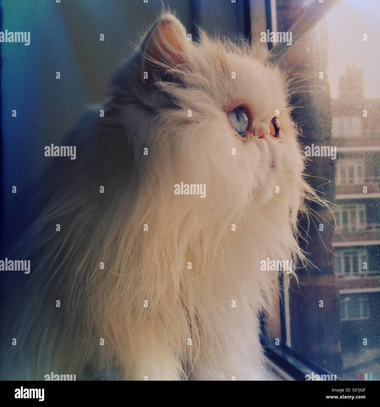Cute white Persian cat looking outside the window - Stock Image