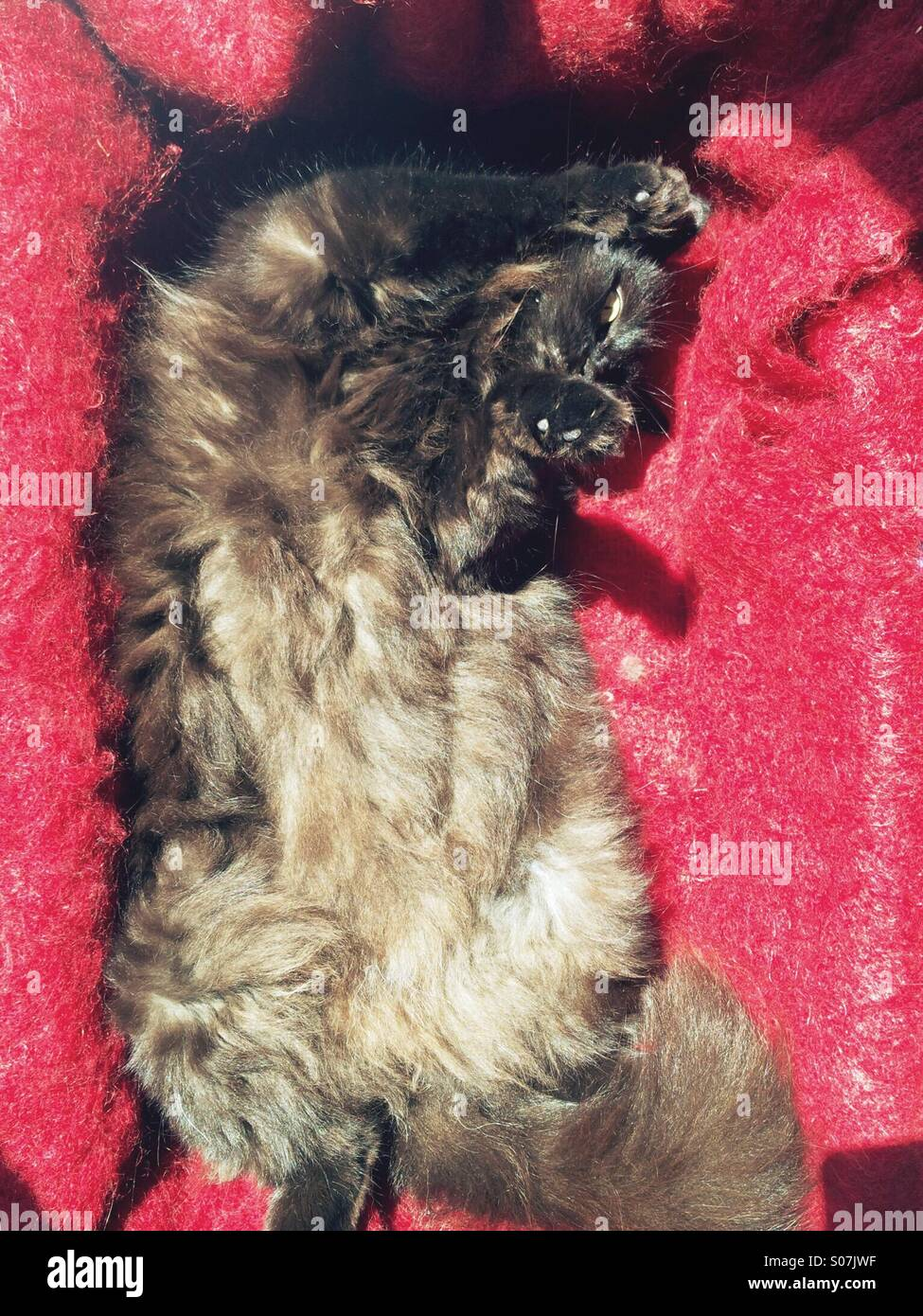 Brown long-haired cat on back on red mohair blanket Stock Photo