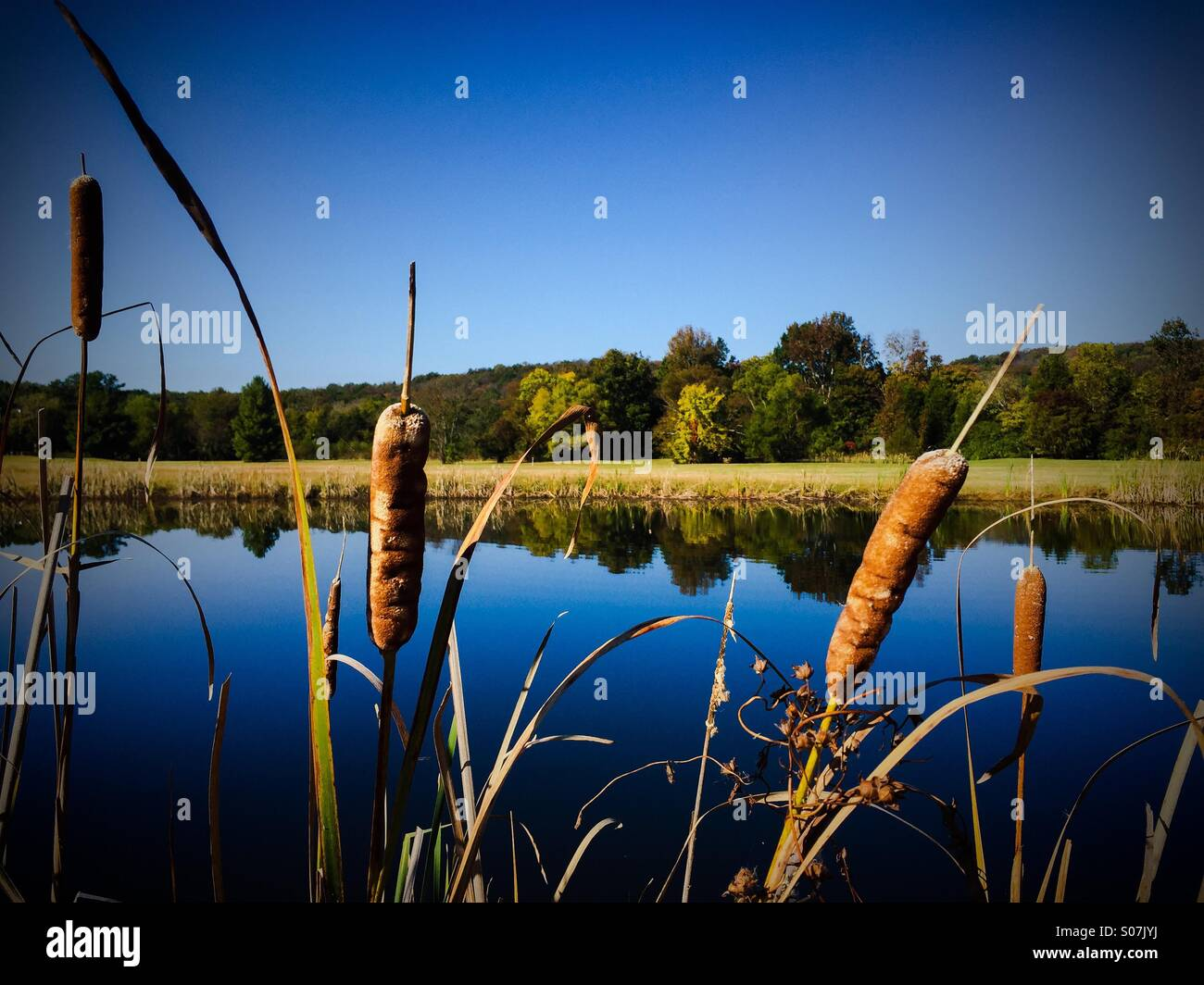 Alabama farm pond with golden cattails highlighted by early morning and autumn colors. - Stock Image