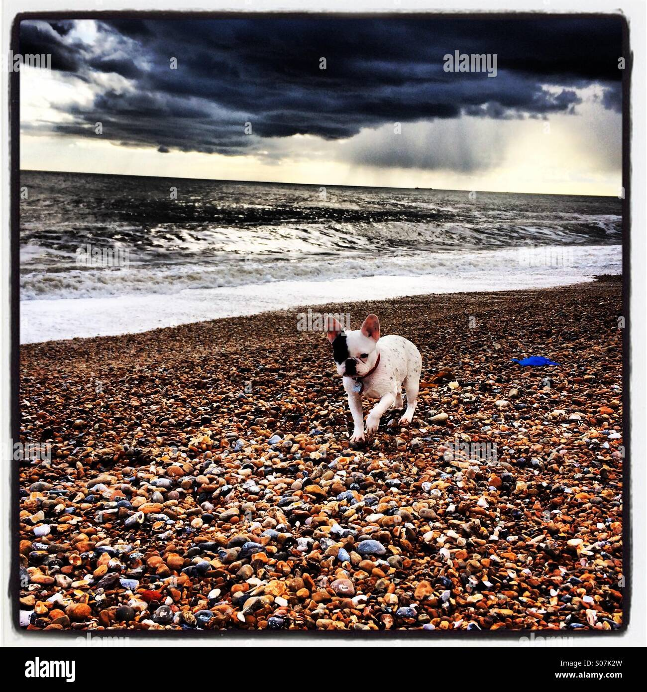 Bulldog on Brighton Beach - Stock Image