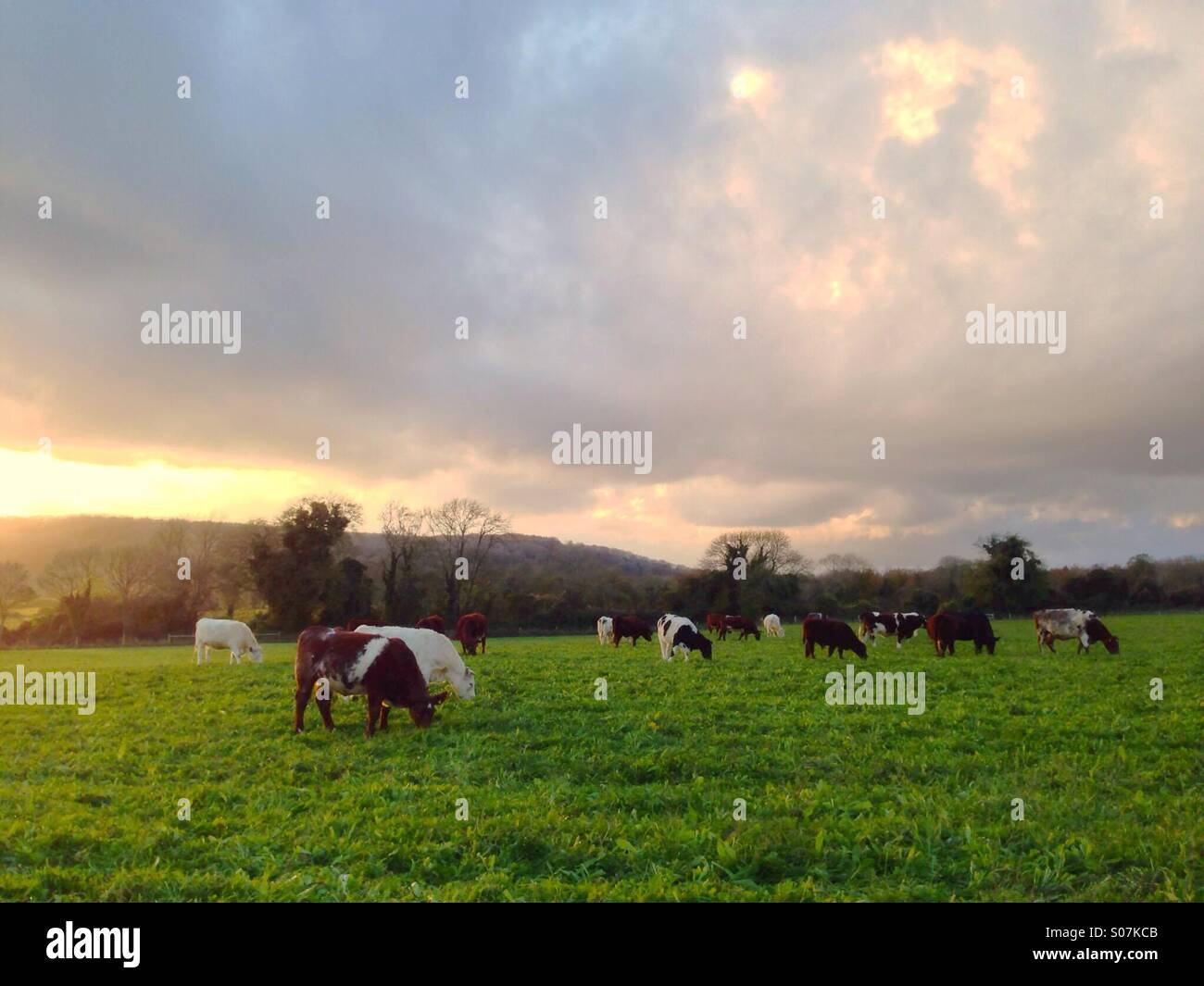 Traditional cattle breeds grazing rough downland in the evening sun. Stock Photo