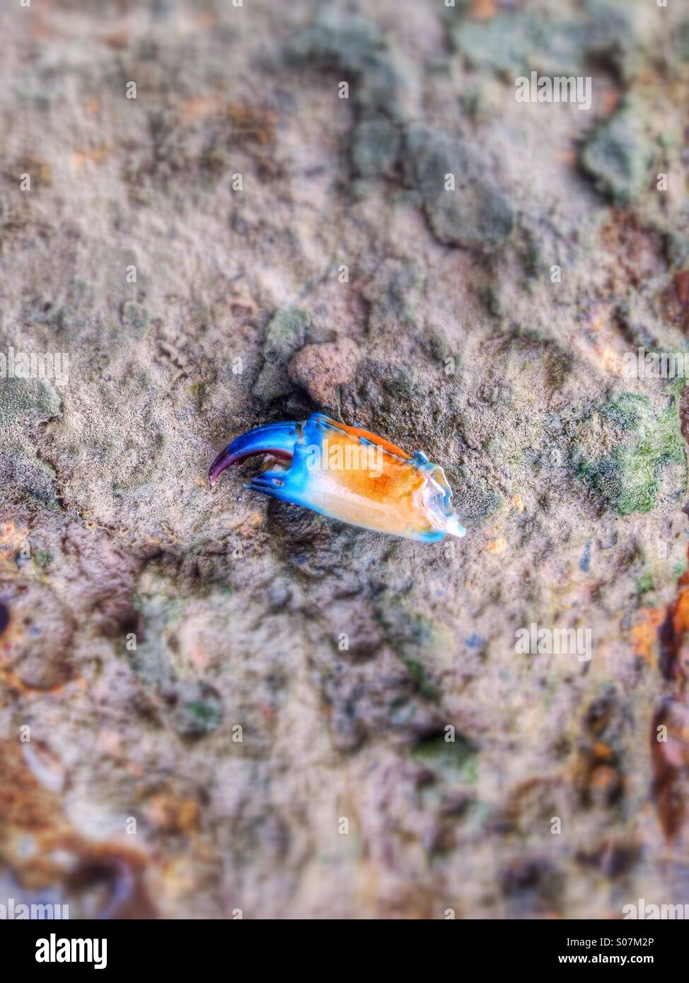 Lost nipper of a Blue Nippers crab, on the rocks, in Northern Australia. - Stock Image
