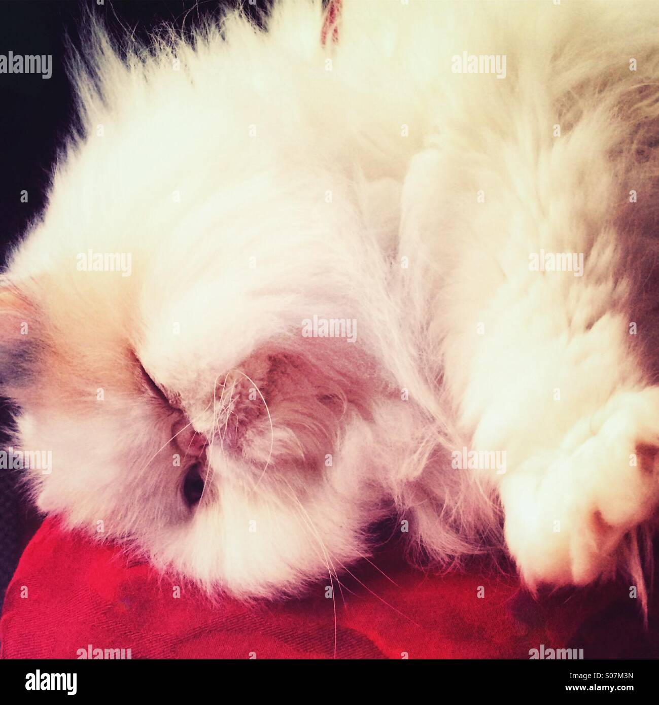 Fluffy Persian cat lying down on the side Stock Photo