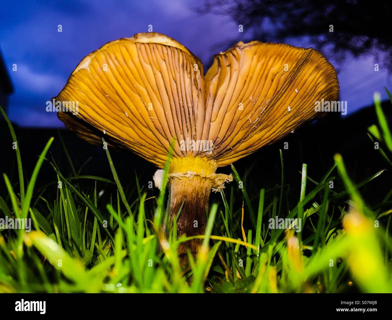 A large Slippery Jack mushroom. Also known as a Sticky Bun Fungus, its Latin name is Suillus luteus. They are edible - Stock Image