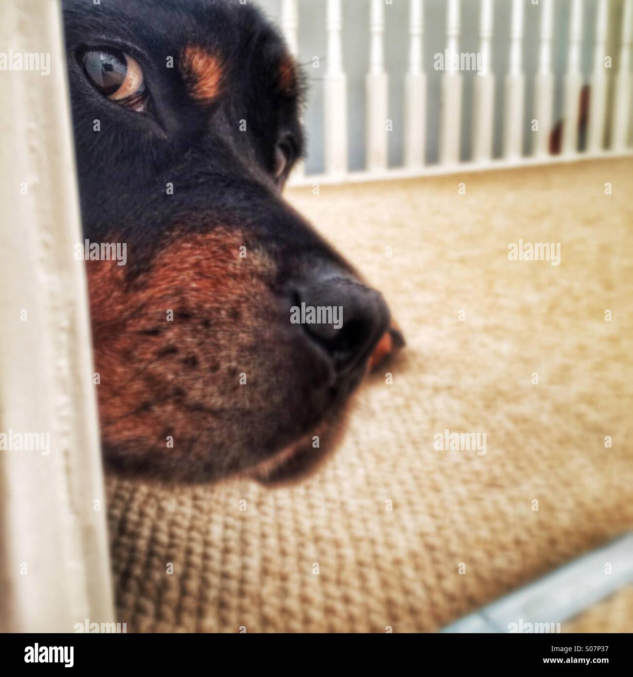 Rottweiler dog peeping - Stock Image