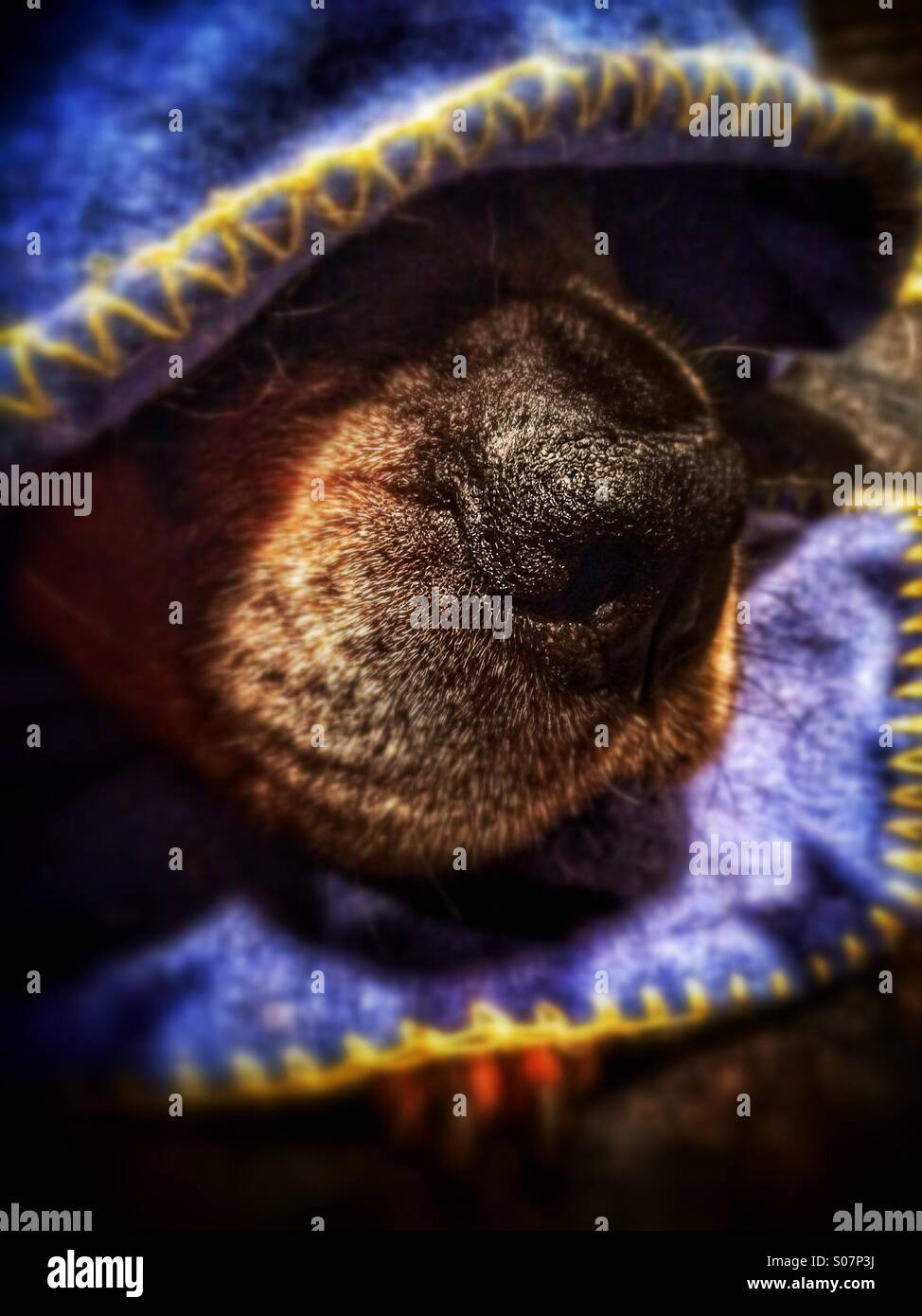 Rottweiler dog under blanket revealing nose - Stock Image