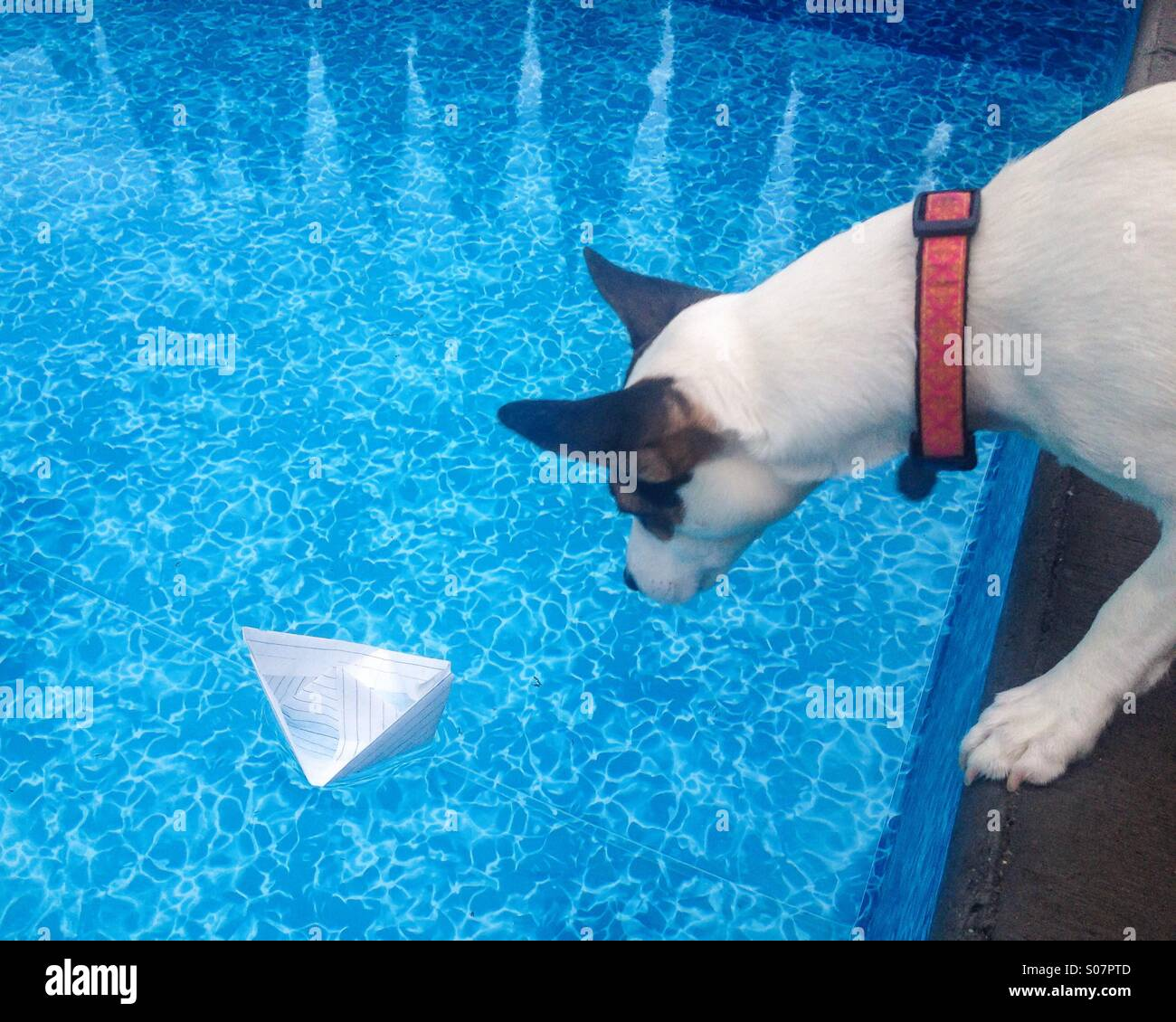 Daisy and the boat pt1. Daisy the Jack Russell Terrier is quite intrigued by the paper boat floating in the pool. - Stock Image