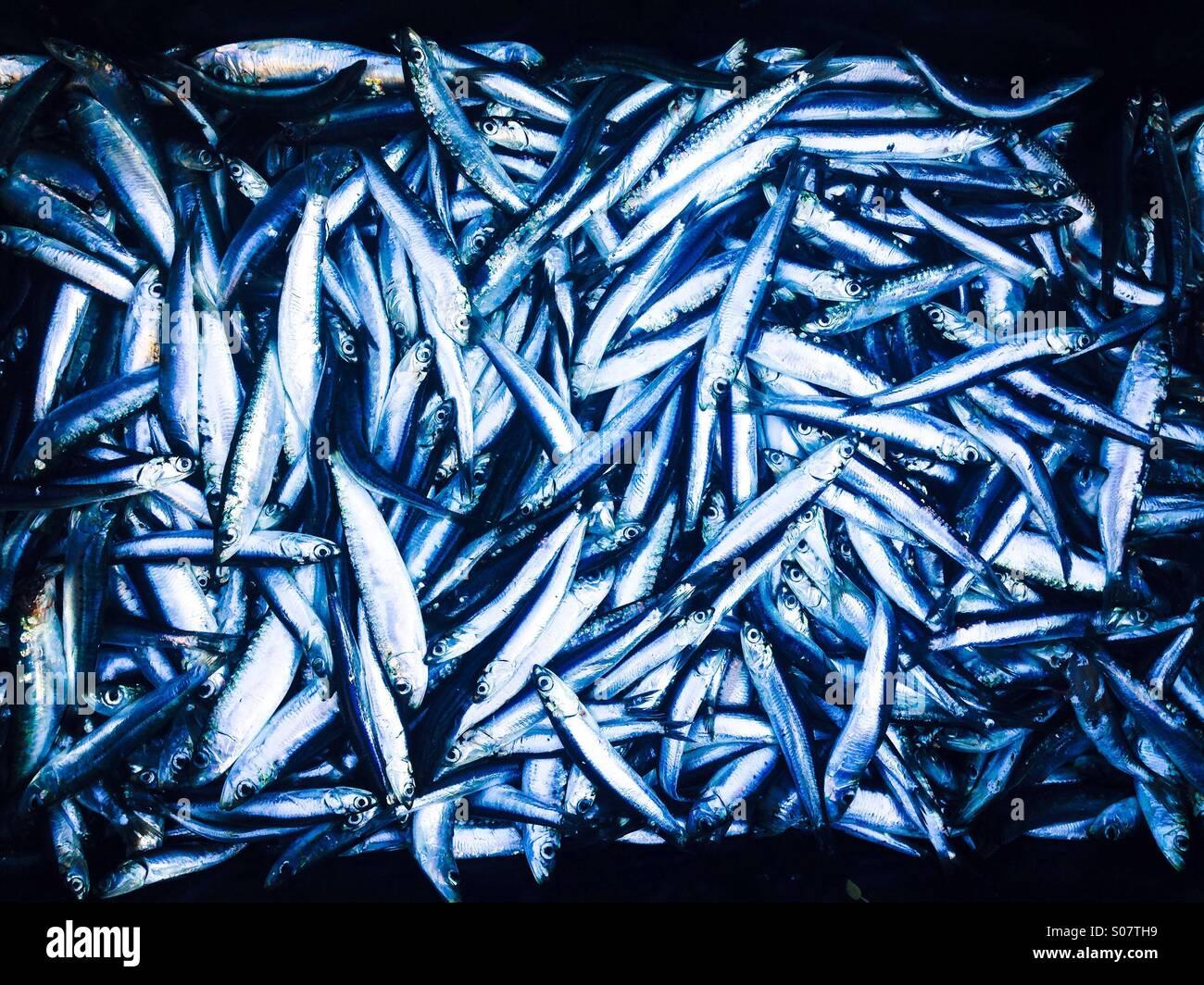 Many fresh anchovies and sardines fish - Stock Image